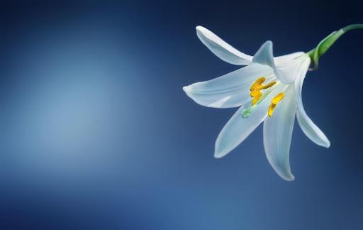 Lilium Candidum Hybrids (Class III)