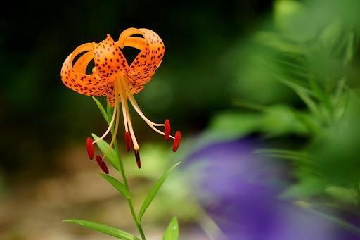 Lilium Species (Class IX)