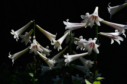 Lilium Trumpet Hybrids (Class VI)